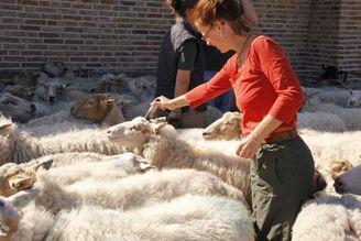schapenscheer dag
