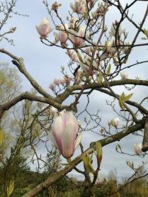 Magnolia, bloeit ook maar heel kort.